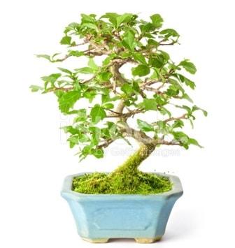 S zerkova bonsai kısa süreliğine  İzmit çiçek siparişi vermek