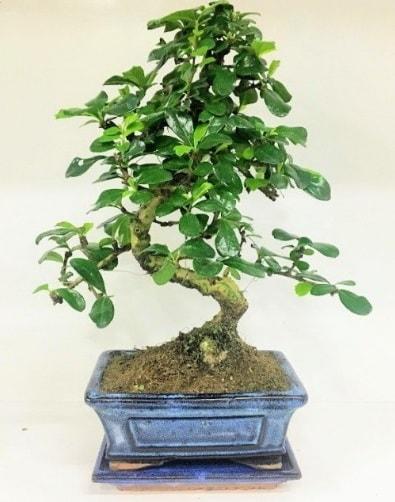 S Bonsai japon ağacı bitkisi  İzmit çiçek yolla