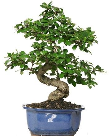 21 ile 25 cm arası özel S bonsai japon ağacı  İzmit uluslararası çiçek gönderme