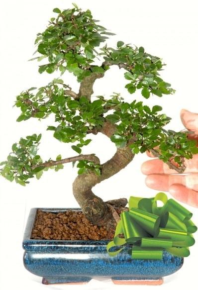 Yaklaşık 25 cm boyutlarında S bonsai  İzmit çiçek mağazası , çiçekçi adresleri