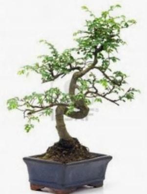 S gövde bonsai minyatür ağaç japon ağacı  İzmit 14 şubat sevgililer günü çiçek