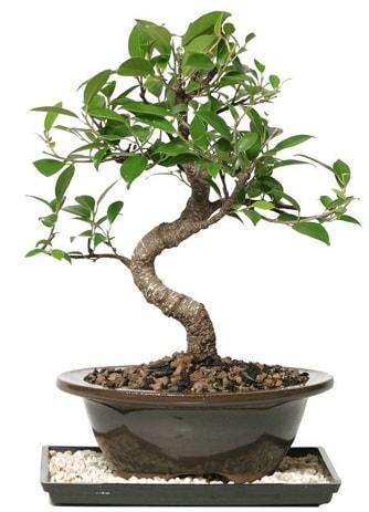Altın kalite Ficus S bonsai  İzmit uluslararası çiçek gönderme  Süper Kalite