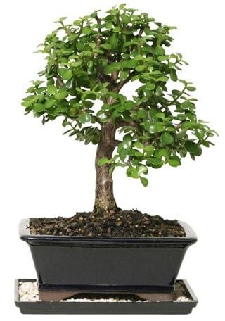 15 cm civarı Zerkova bonsai bitkisi  İzmit çiçek mağazası , çiçekçi adresleri