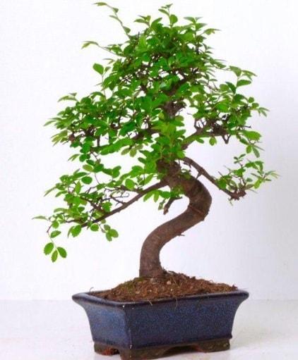 S gövdeli bonsai minyatür ağaç japon ağacı  İzmit online çiçek gönderme sipariş