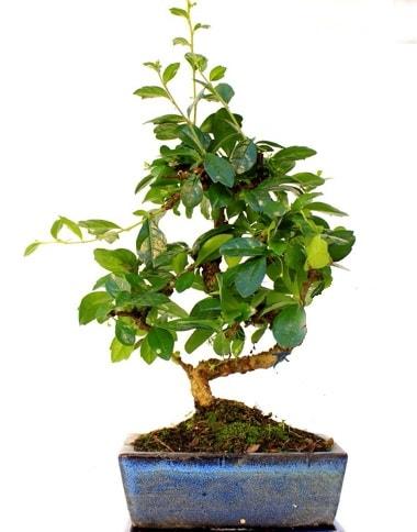S gövdeli carmina bonsai ağacı  İzmit cicek , cicekci  Minyatür ağaç