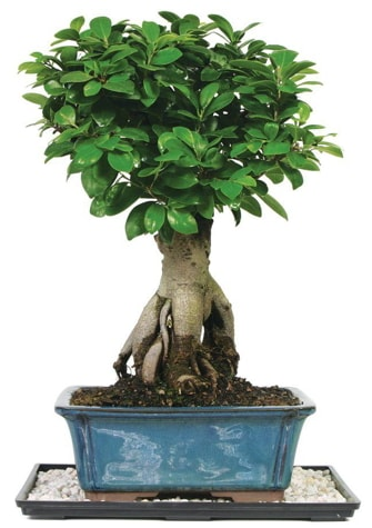 Bonsai Ginsing Grafted Ficus Bonsai  İzmit cicek , cicekci
