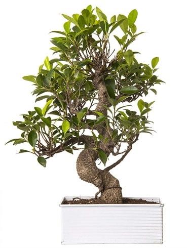 Exotic Green S Gövde 6 Year Ficus Bonsai  İzmit online çiçek gönderme sipariş