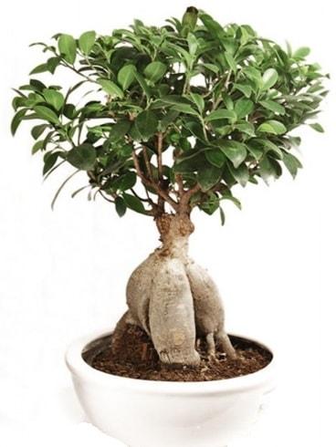 Ginseng bonsai japon ağacı ficus ginseng  İzmit çiçek siparişi vermek