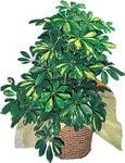 İzmit yurtiçi ve yurtdışı çiçek siparişi  Schefflera gold